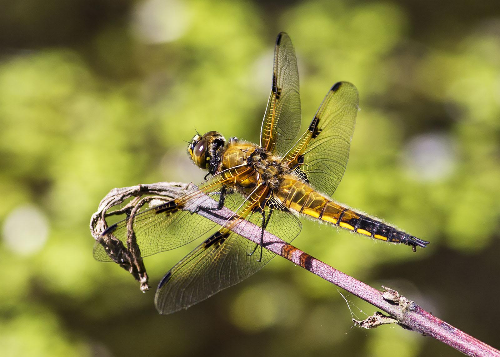 Der Vierfleck - nur eine von 19 Libellenarten