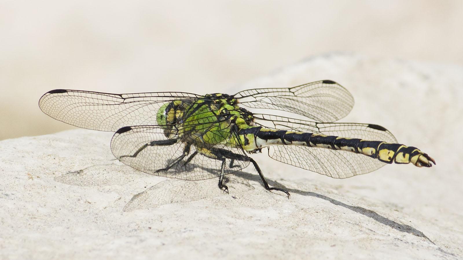 Die Grüne Flussjungfer ist eine seltene Libellenart, die in der Schlucht ideale Lebensräume findet