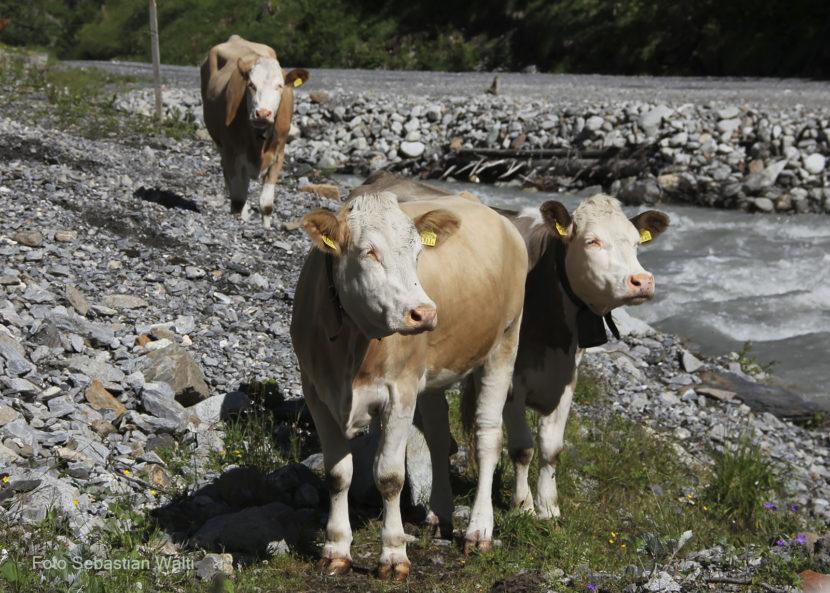 Viehsömmerung bei Selden
